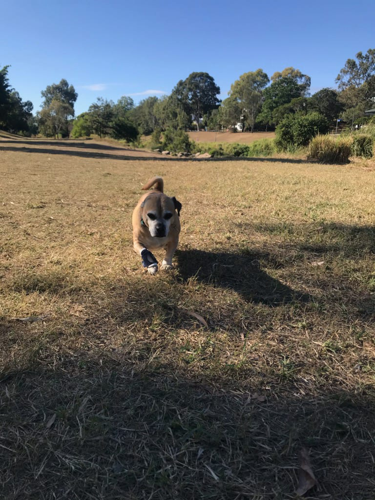Marvin Running with dog carpal brace BALTO
